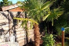 15-08-Trachycarpus Fortunei 05