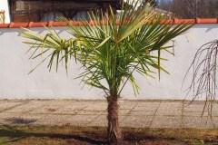15-03-Trachycarpus Fortunei 01