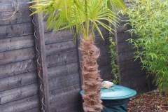 16-02-Trachycarpus Fortunei 30