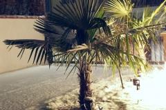 16-01-Trachycarpus Fortunei 19