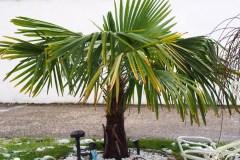16-01-Trachycarpus Fortunei 11
