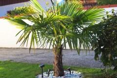 15-10-Trachycarpus Fortunei 10