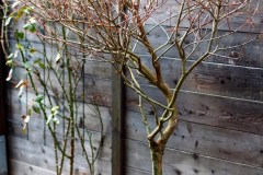 16-01-Salix integra 'Hakuro Nishiki' 2