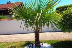15-08-Trachycarpus Fortunei 06