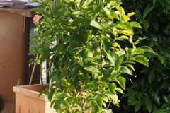 15-08-Magnolia 'Genie' 1