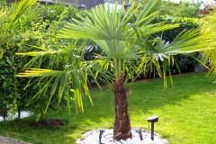 15-09-Trachycarpus Fortunei 07