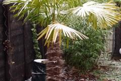 15-11-Trachycarpus Fortunei 18