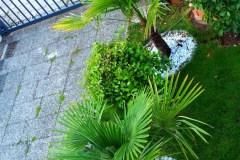 15-08-Trachycarpus Fortunei 04