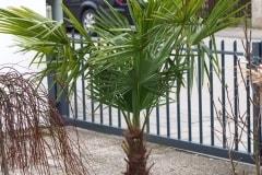 16-02-Trachycarpus Fortunei 29