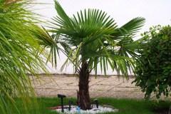 15-09-Trachycarpus Fortunei 08