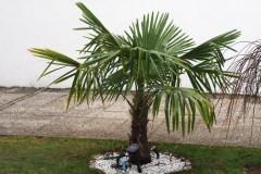 16-02-Trachycarpus Fortunei 28