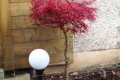 15-10-Acer palmatum 'atropurpureum'