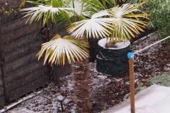 15-11-Trachycarpus Fortunei 17