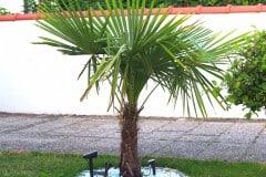 15-07-Trachycarpus Fortunei 01
