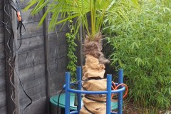 16-02-Trachycarpus Fortunei 27