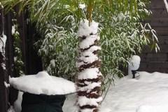 16-01-Trachycarpus Fortunei 21