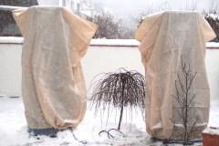 16-01-Trachycarpus Fortunei 22