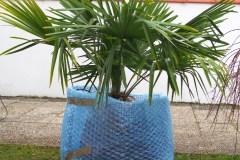 16-02-Trachycarpus Fortunei 25
