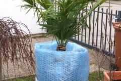 16-02-Trachycarpus Fortunei 26