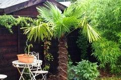 16-09-Trachycarpus Fortunei 03