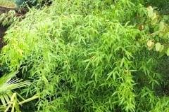 16-09-Phyllostachys vivax 'aureocaulis' 01