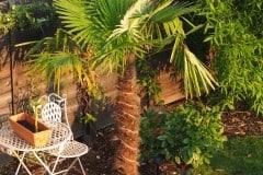 16-09-Trachycarpus Fortunei 06