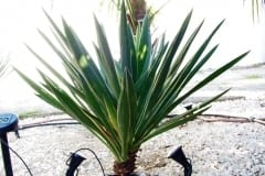 16-09-Yucca gloriosa 03