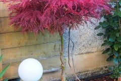 16-10-Acer palmatum 'atropurpureum' 01