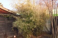 17-02-Fargesia spez. jiuzhaigou, Phyllostachys vivax 'aureocaulis' 02