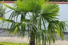16-07-Trachycarpus Fortunei 01
