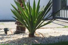 16-07-Yucca gloriosa 01
