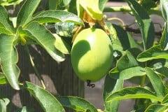 16-07-Passiflora caerulea 10