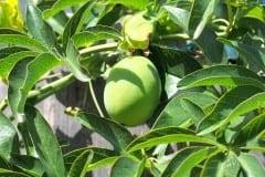 16-08-Passiflora caerulea 01