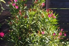 16-08-Nerium oleander 'Italia' 01