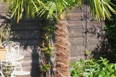 16-08-Trachycarpus Fortunei 01