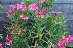 16-09-Nerium oleander 'Italia' 01