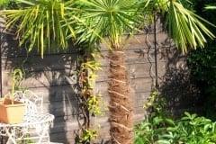 16-09-Trachycarpus Fortunei 01