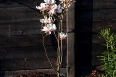 16-04-Magnolia soulangeana 01