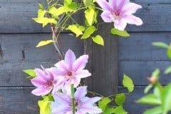 16-05-Clematis Nelly Moser 02
