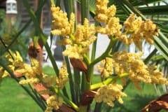 16-05-Trachycarpus Fortunei 10