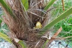 16-04-Trachycarpus Fortunei 01