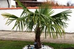 16-03-Trachycarpus Fortunei 01