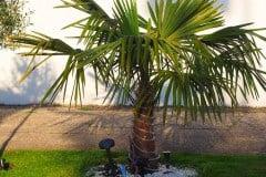 16-05-Trachycarpus Fortunei 01