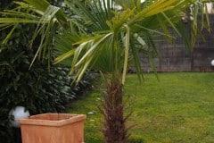 16-03-Trachycarpus Fortunei 03
