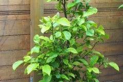 16-06-Magnolia Genie 01