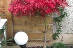 17-11-japanischer Blutfächerahorn 01