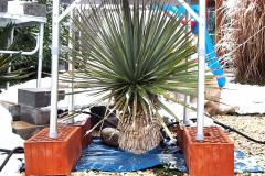 18-02-Yucca rostrata 01