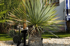 17-09-Yucca rostrata 01