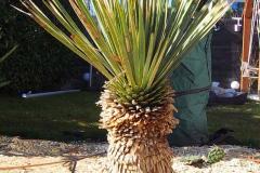 17-02-Yucca rostrata 01