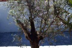 17-05-Olivenbaum 01